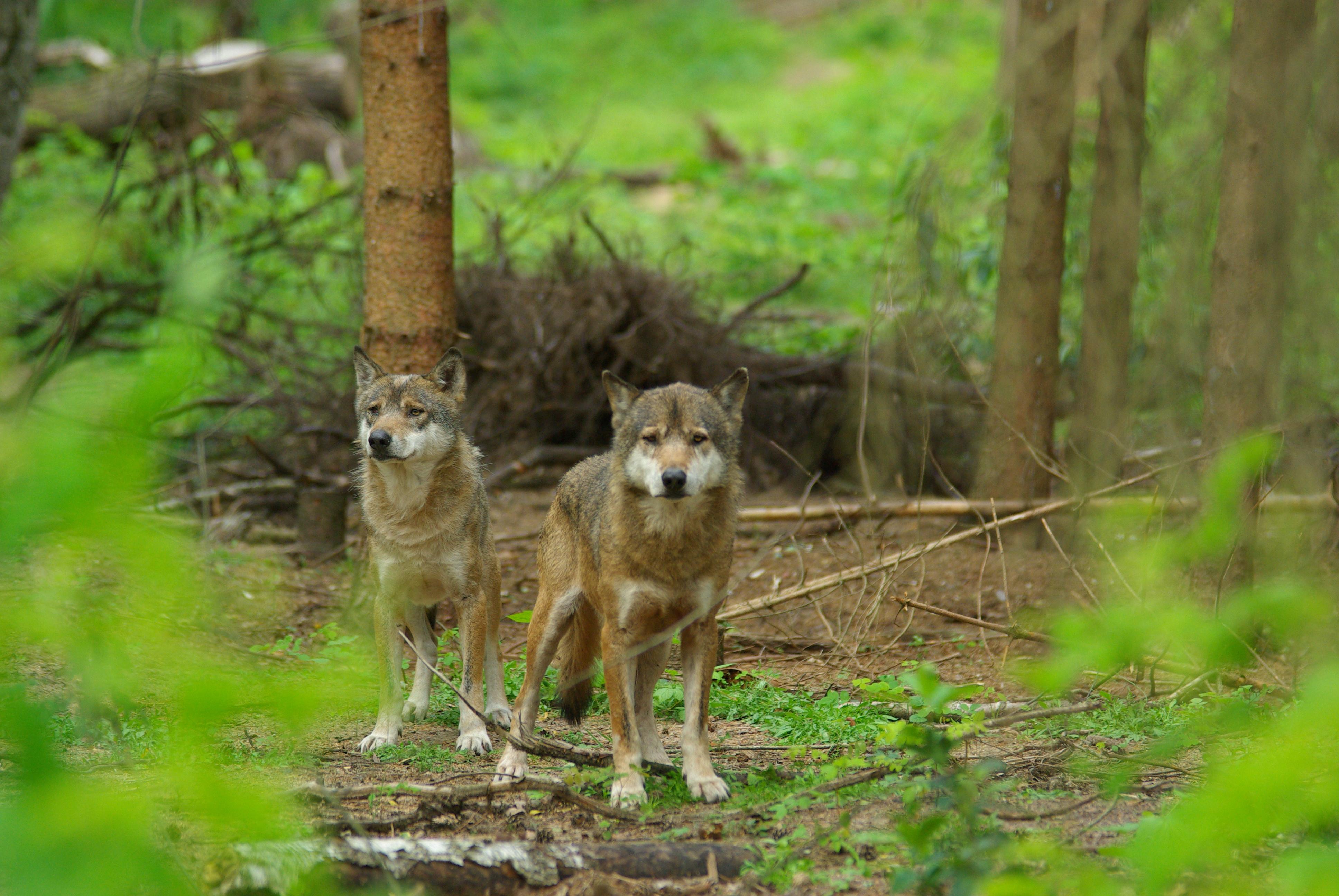 Wolfcenter, Aktuelles, die Wölfe sind da, europäische Grauwölfe