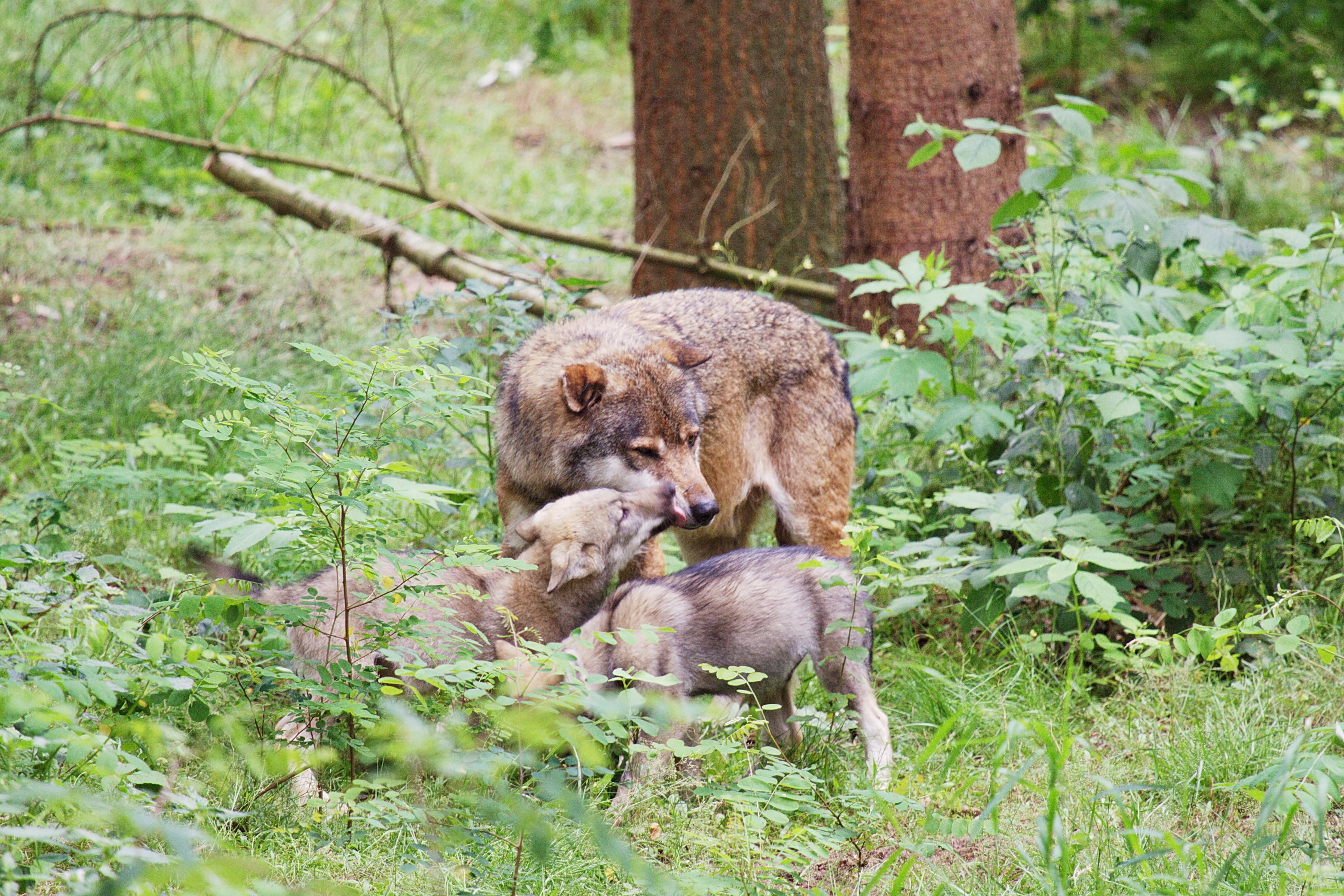 Wolfcenter, Dörverden Barme, Integration von Wolfswelpen, Rudel, europäische Grauwölfe