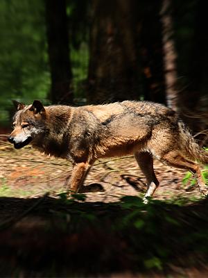 Wolfcenter, Onlineshop, Veranstaltung, Seminar Wolf, 1-tägig, Frank Faß