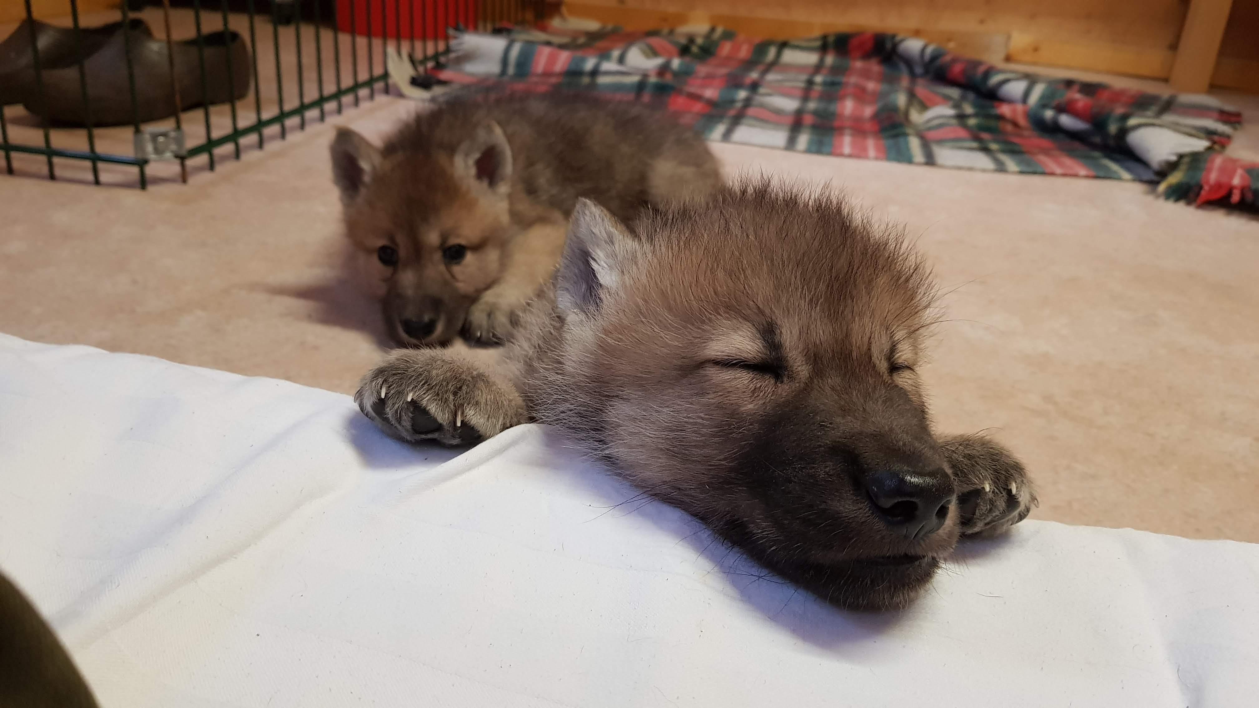 Wolfcenter, aktuelles, Welpen, Cosmo und Luna, kanadische Wölfe, Namensgebung
