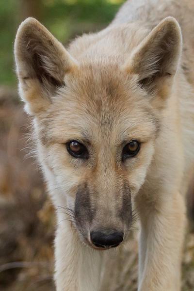 Wolfcenter, über Uns & Wölfe, unsere Wölfe, kanadischer Wolf, Luna