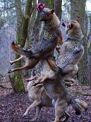 Wolfcenter, Onlineshop, Zusatzangebote, Sie füttern unsere Wölfe, Europäische Grauwölfe, Fütterung