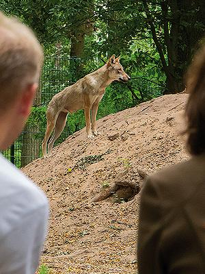 Wolfcenter, Onlineshop, Zusatzangebote, Urlaub unter Wölfen, Übernachtungen, Frühstück, Mittagessen, Fotoklappen, Wolfsbesuch, Fütterung