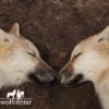 Wolfcenter, Onlineshop, Bilder, Postkarten, Welpen, Wölfe