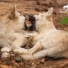 Wolfcenter, Onlineshop, Bilder, Postkarten, Welpen, spielen, Wölfe