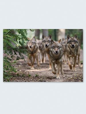 Wolfcenter, Onlineshop, Bilder, Leinwand, Rudel, Wölfe, laufende Wölfe
