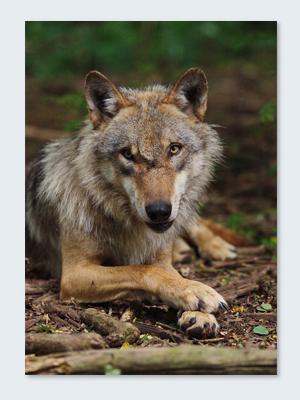 Wolfcenter, Onlineshop, Bilder, Poster, Europäischer Grauwolf