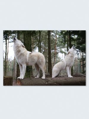 Wolfcenter, Onlineshop, Bilder, Poster, Heulen, Hudson Bay Wölfe