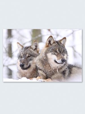 Wolfcenter, Onlineshop, Bilder, Poster, Wölfe im Schnee, Europäische Grauwölfe
