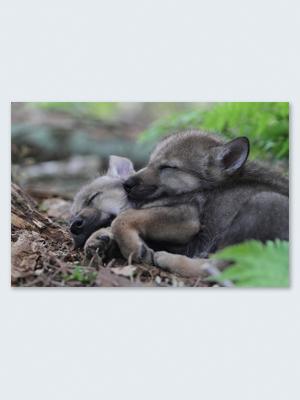 Wolfcenter, Onlineshop, Bilder, Poster, Wölfe, Welpen