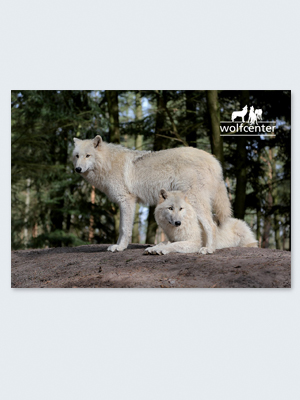 Wolfcenter, Onlineshop, Bilder, Postkarten, weiße Wölfe