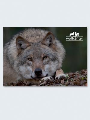 Wolfcenter, Onlineshop, Bilder, Postkarten, europäischer Grauwolf