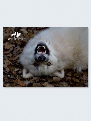 Wolfcenter, Onlineshop, Bilder, Postkarten, weißer Wolf