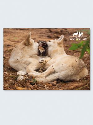 Wolfcenter, Onlineshop, Bilder, Postkarten, Wölfe. Welpen, spieleln