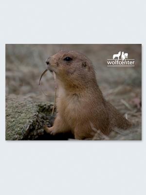 Wolfcenter, Onlineshop, Bilder, Postkarten, Präriehund