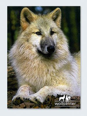 Wolfcenter, Onlineshop, Bilder, Postkarten, Hudsonbay Wolf, Dala