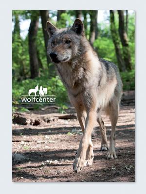 Wolfcenter, Onlineshop, Bilder, Postkarten, europäischer Grauwolf, laufen