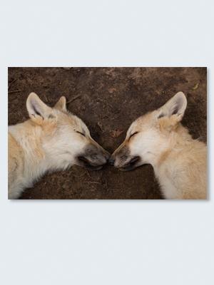 Wolfcenter, Onlineshop, Bilder, Poster, Wolf, Welpen