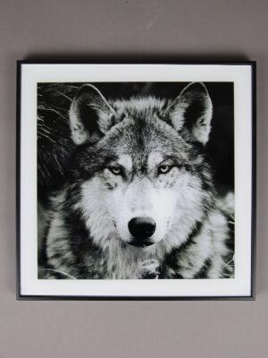 Wolfcenter, Onlineshop, Bilder, Wolf, Portrait