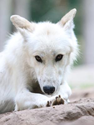 Wolfcenter, Onlineshop, Wolf, Luna